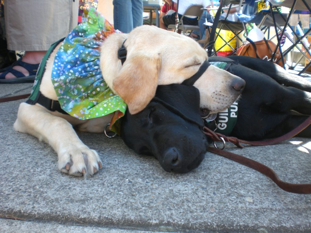 "Fantasia with Andera -2nd Litter Puppy at ""Fun Day"" - Guide Dog Campus in Oregon"