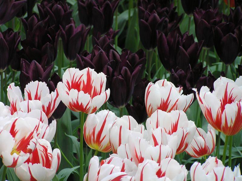 More Keukonhof Flowers