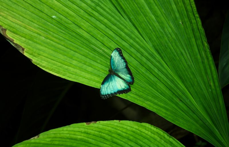 A blue butterfly in the rainforest of the San Francisco Academy of Sciences.
