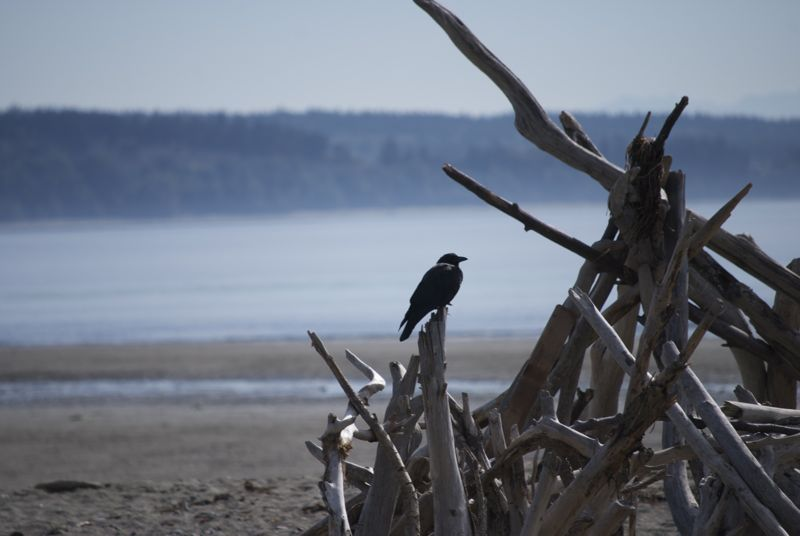 Driftwood and a crow (or a raven) on Useless Bay.