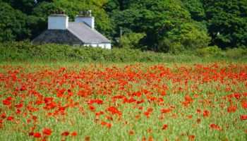 Castletown Poppies