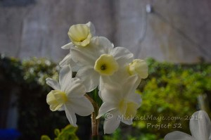 Five Head Narcissus – Project 52 #18