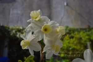 five headed daffodil