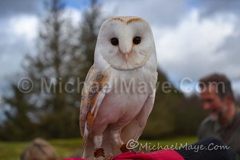 Eagles Flying - Barn Owl