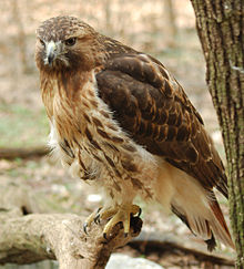 220px-Red-tailed_Hawk_Buteo_jamaicensis_Full_Body_1880px
