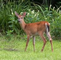 deer2_june_blog