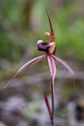 Caladenia clavigera