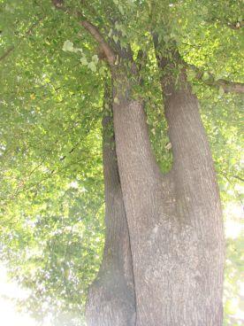 180929 Haydnstr Baum 002