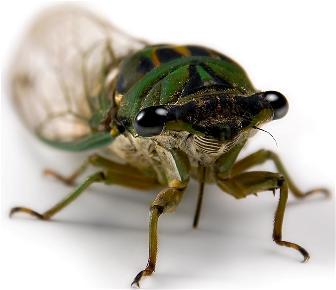Cicadas vs Periodic Cicadas vs Grasshoppers vs Locusts (1/3)