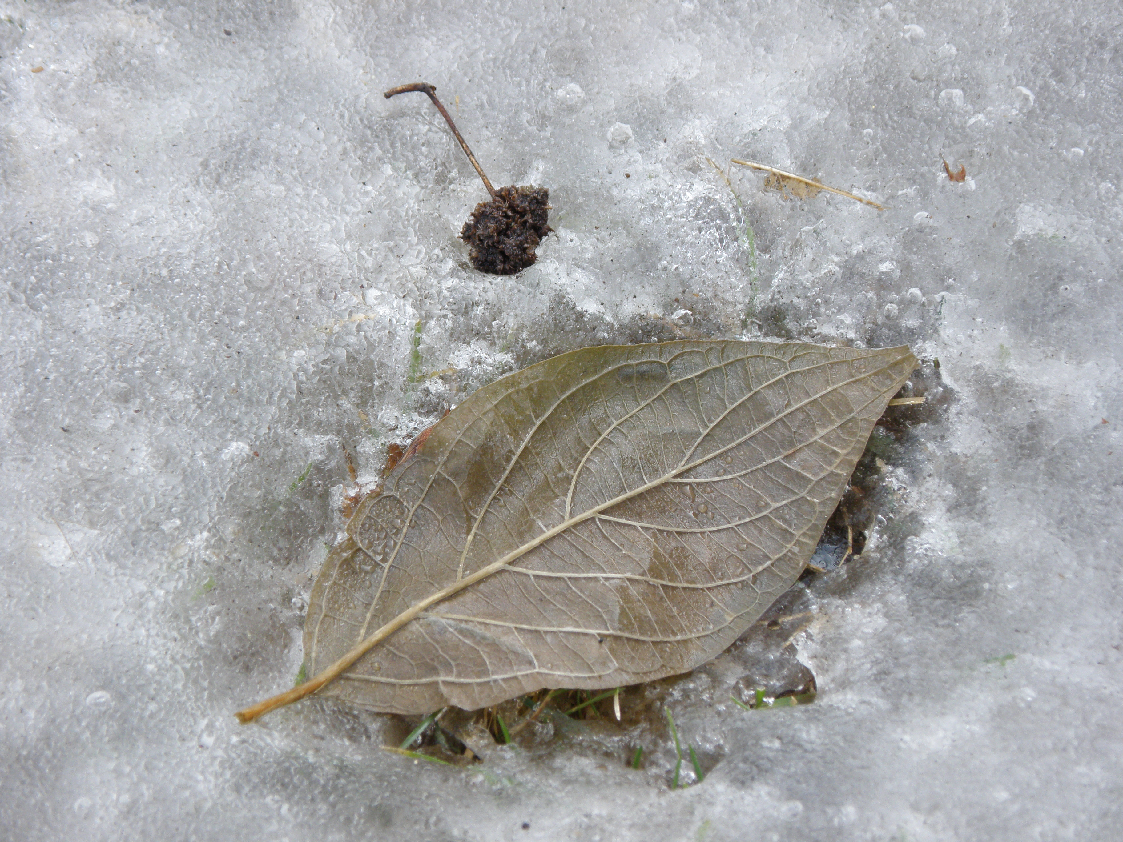 Frozen leaf