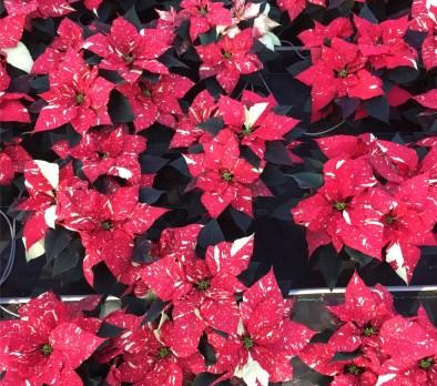 Red Glitter 6.5'