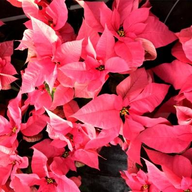 Pink 6.5'