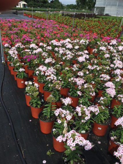 Perennials at Michael's