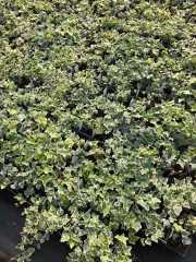 """4"""" Variegated Ivy"""