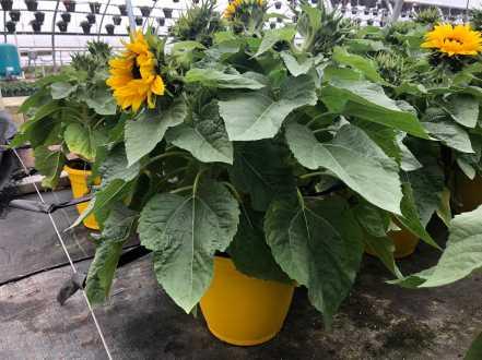 "8"" Sunflower"