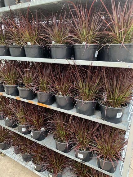 """8"""" Red Fountain Grass"""
