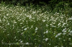 Queen Anne's Lace and Blue Cornflowers line the backroads.