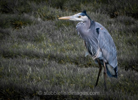 Great Blue Heron seems to shiver in the cold wind