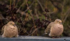 Mourning Dove pair