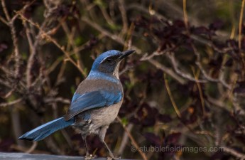 Scrub Jay in his Sunday best