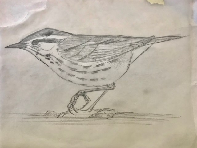 3. Sketch of a Northern Waterthrush made out in the field
