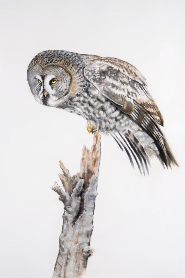 7. Great Gray Owl drawing