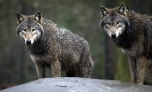 Lobos Finlandia
