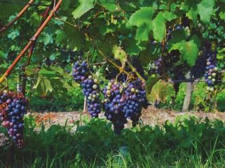 Wein, Rotwein Barolo, Piemont