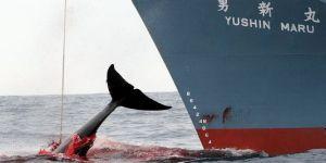 En 2006,ce navire de pêche japonais vient de capturer une baleine.