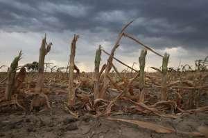 Les cultures de blé seront les premières touchées.