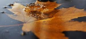 Feuille d'érable dans l'eau
