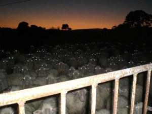 Que penser de ce troupeau de moutons...la nuit?