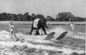 L'éléphante Queenie fit un tour de ski nautique en 1950.