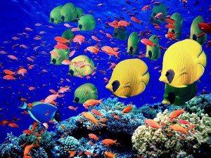 """La mer Rouge du Nord a été décrit comme «le Jardin d'Eden sous-marin"""" et il est facile de voir pourquoi. L'étendue d'eau entre l'Asie et l'Afrique est le foyer de certains des plus beaux récifs coralliens dans le monde et certains des poissons les plus exotiques de couleurs variées. La mer Rouge du Nord couvre 169 000 miles carrés et abrite plus de 70 espèces de coraux durs, 30 espèces de coraux mous et plus de 500 espèces différentes de poissons. La région est un site très populaire auprès des plongeurs, qui sont attirés par la possibilité de plonger dans les eaux chaudes tropicales, témoin des récifs coralliens joliment colorées et un assortiment spectaculaire de poissons exotiques."""