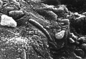 Fossiles extra-terrestres     Des chercheurs ont découvert une pierre de Mars en Antarctique et soutiennent qu'elle contient des nanobactéries. Cette découverte laisse supposer que des pierres de ce genre se sont retrouvées sur notre planète il y a de cela des millions d'années et qu'elles ont fait éclore la vie sur Terre. Photo : Micrographie d'une météorite martienne Alh84001 présentant ce qui ressemble à un microorganisme fossilisé.