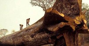 L'Arbre Mère,un arbre sacré,aurait été coupé intentionellement par  des ouvriers d'une entreprise capitaliste brésilienne.