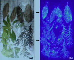 Des feuilles radioactives