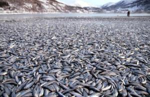 Les morts massives d'animaux se sont multiplié depuis 2011. Vous voyez ici plus de 20 tonnes de poissons retrouvés morts da l'état de Washington ,un beau matin de 2012.