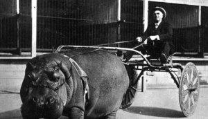 """Dans les années '20,quelqu'un dessinat et conçut ce """"selky"""" pour hippopotame."""
