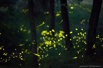 firflies1