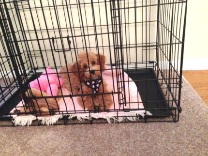 Poodle crate training Michelines pups
