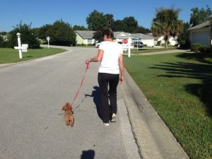 trainining poodle pup to lead florida