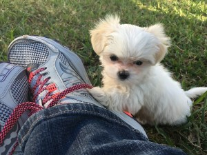 tiny malshi pups for sale in ocala florida michelines pups susie1