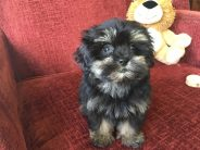 Shihtzu poodle shipoo pups for sale Ocala florida4