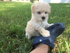 Maltipoo pups for sale ocala Florida Micheline