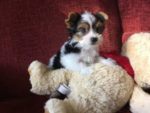 Tri color Biewer Morkie pups Florida michelines pups