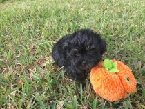 shih poo shih tzu poodle pups for sale florida michelines pups