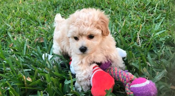 maltipoo pups for sale in florida Michelines pups