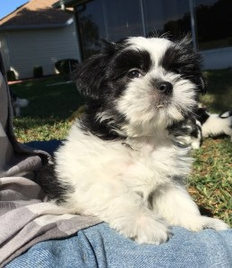 Malshi black and white pup ocala florida