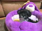 Biewer Yorkie pups for sale Ocala Florida Michelines Pups01